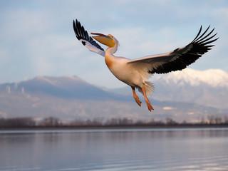 Fotoväggar - Great-white pelican, Pelecanus onocrotalus