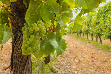 bunch of pinot gris grapes growing on vine in organic vineyard