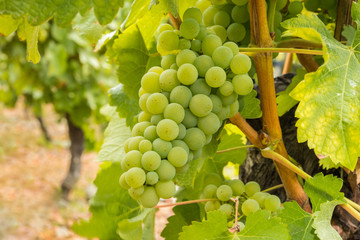 ripe chardonnay grapes on vine in organic vineyard at harvest time