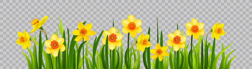 Obraz Isolated Easter blossom banner with daffodils - fototapety do salonu