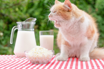 Red cat with bared mouth sits on table with dairy products