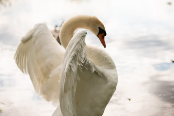 Foto op Canvas Zwaan Beautiful white swan on the lake. Watching the frame.