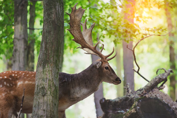 red deers, stags walking in sunny morning forest, close up, sunny morning forest