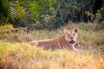 Female lioness mother with small lions in Masai Mara National Park. Safari in Kenya.