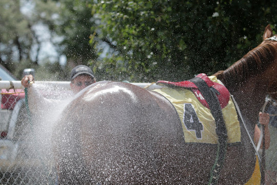 Race horse getting cooled down after race