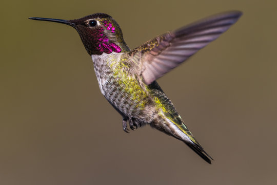 Hummingbird flying, flapping its wings in flight