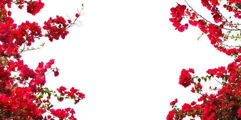 Wall Mural - Red Bougainvillea flower on white background.