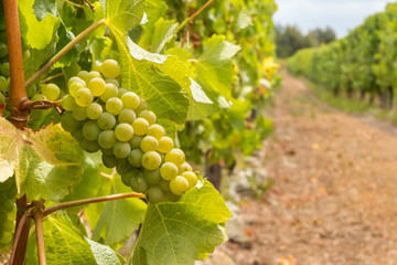Sauvignon Blanc grapes on the vine in vineyard with blurred background and copy space
