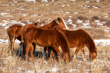 A herd of red horses graze on a winter pasture in the Altai mountains