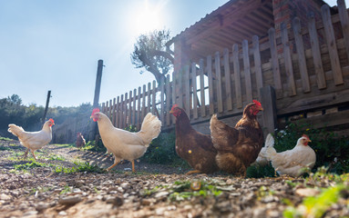 Photo sur Plexiglas Poules Hens raised in freedom and fed with organic food