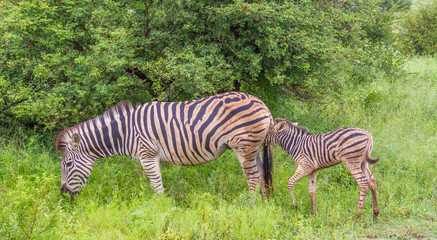 Animal motherhood - interaction between a zebra mare and her foal image in horizontal format