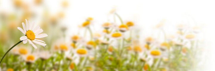 Photo sur Aluminium Marguerites Daisy field on white background, panoramic spring web banner