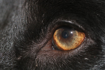 Poster Luipaard Dogs eye staring