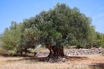 Foto auf Gartenposter Khaki Olivenbaum (Olea europaea) alter Baum, Insel Kreta, Griechenland, Europa
