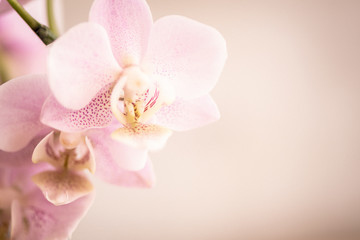 Poster Orchid Orchideenblüten in rosa pink mit Freiraum