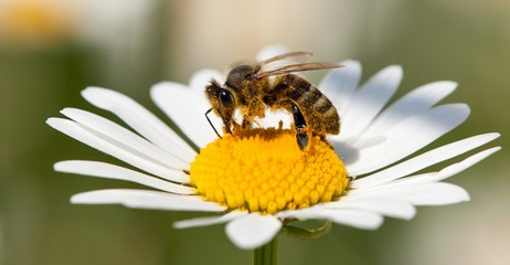 Spoed Fotobehang Bee bee or honeybee on white flower of common daisy