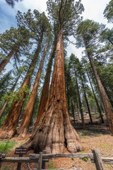 Giant Sequoia trees in Sequoia National Park