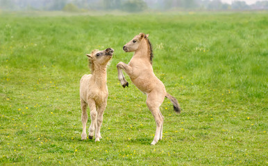 Two cute dun colored Konik foals playing and rearing, they are part of a free-range herd of the...
