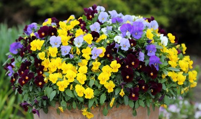 Photo sur Toile Pansies Pansy flowers.
