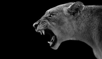 Papiers peints Puma Angry Female Lion Roaring Head