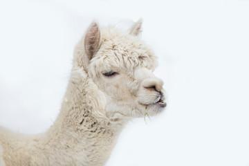 Poster Kameel Cute alpaca portrait on white background