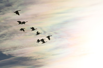 Wall Mural - Flock of Canada Geese Silhouetted As They Fly into the Bright Sun