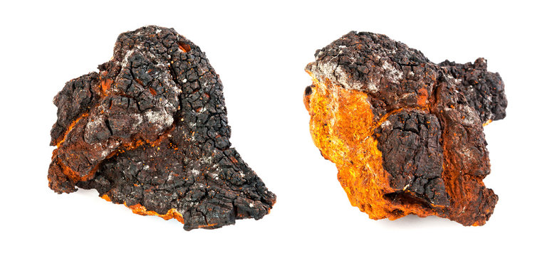 Two pieces of chaga mushroom on white background. Panorama.