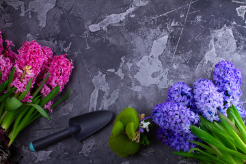 Gardening concept with hyacinth fresh flowers