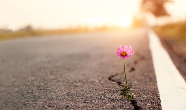 Close up, Pink flower growing on crack street sunset background