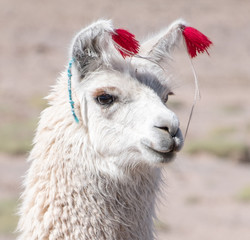Keuken foto achterwand Lama Close up portrait of the Bolivian Llama decorated with red yarn tassels in the wild