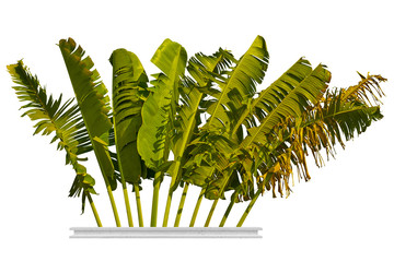 Wall Mural - Leaf of banana isolated on white background, clipping path