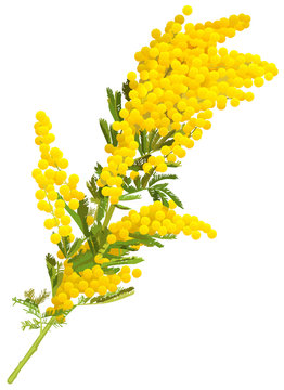 Yellow mimosa flower branch of acacia isolated on white background