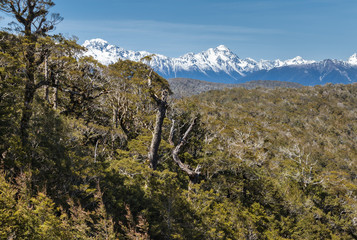 Southern beech forest in Nelson Lakes National Park, South Island, New Zealand