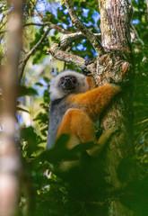 Diademed sifaka cramping onto a tree trunk