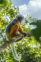 Diademed sifaka sitting on a branch in the trees