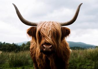 Scottish Highland Cattle in Scotland