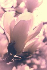 Foto auf Leinwand Magnolie Close up of a magnolia flower in spring. Magnolia blossom, soft vintage style