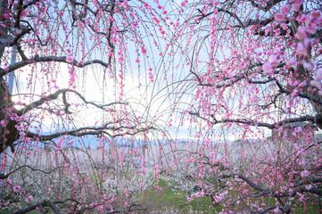 Printed roller blinds Purple 枝垂れ梅と梅林