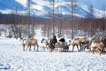 Nenets reindeer herder rides a reindeer team
