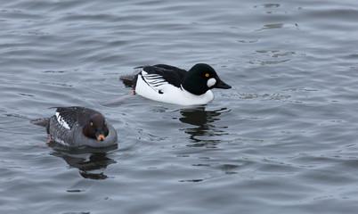 Common goldeneye ducks, male and female, swim in the lake