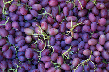 Autumn harvest of blue grapes close up
