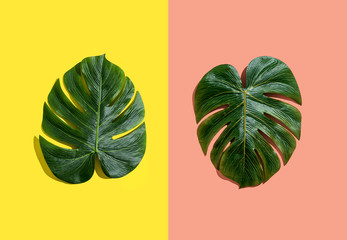 Wall Mural - Tropical plant Monstera leaves on a split tone background