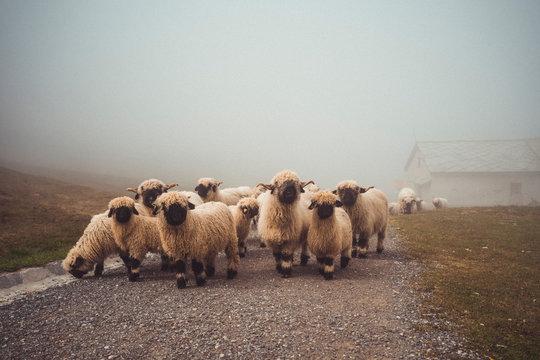Herd of valais blacknose sheep walking through alpine village in fog