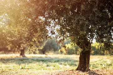 Landscape with old olive trees in sunny summer morning in Provence, France. Provence travel tourism destination with famous kitchen and exceptional olive oil. Wallpaper with olives. Agriculture