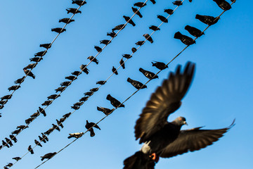 Low angle view of pigeons resting on electrical wires.,Yangon