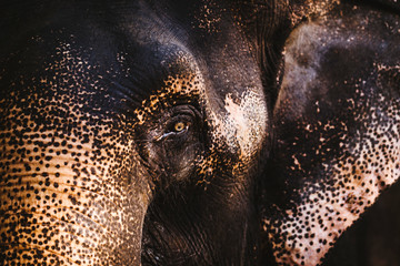 Close up of young Indian Elephant.,Goa