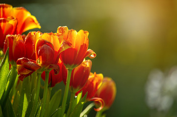 Beautiful fresh blooming red and yellow tulips in the field during spring season with blurred background