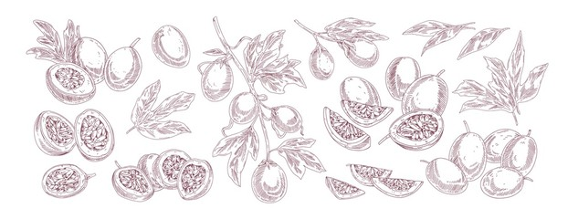 Collection of various passion fruit vector illustration in realistic hand drawn style. Set of monochrome half and slices exotic fruits isolated on white background. Bundle of ripe tropical growth