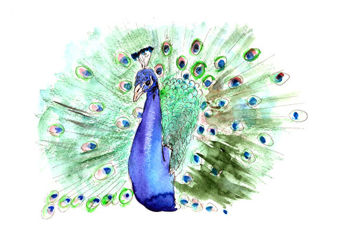 watercolor drawing peacock with open tail