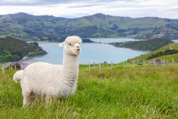 Furry white alpaca grazing in a bucolic green meadow with the sea and mountains in the background